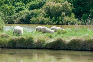 Eco-paturage-sur-marais-salant-web